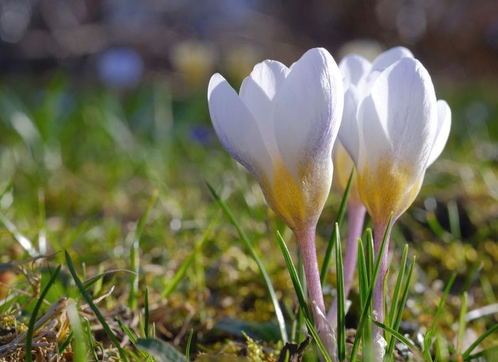 Analog Lens Flowering Plant Flower Growth Close-up Crocus Softness Flower Head White Color Beauty In Nature Petal Nature Outdoors