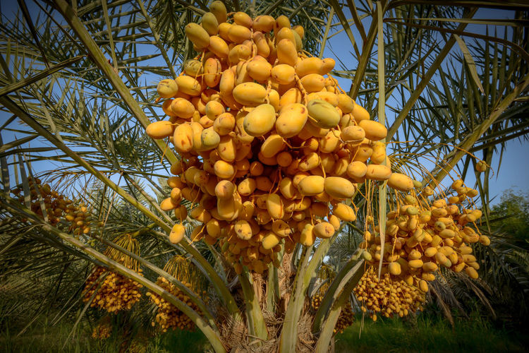 dates palm tree Agriculture Farm Nature Nature Photography Palm Tree Beauty In Nature Bunch Close-up Date Palm Tree Day Food Food And Drink Freshness Fruit Growth Hanging Healthy Eating Low Angle View Nature No People Orange Color Outdoors Palm Tree Plant Ripe Sweet Food Tree Wellbeing Yellow