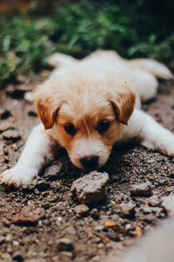 Canine Dog Domestic Mammal One Animal Pets Domestic Animals Portrait Vertebrate Looking At Camera Puppy Young Animal Relaxation Selective Focus Cute No People Close-up Small