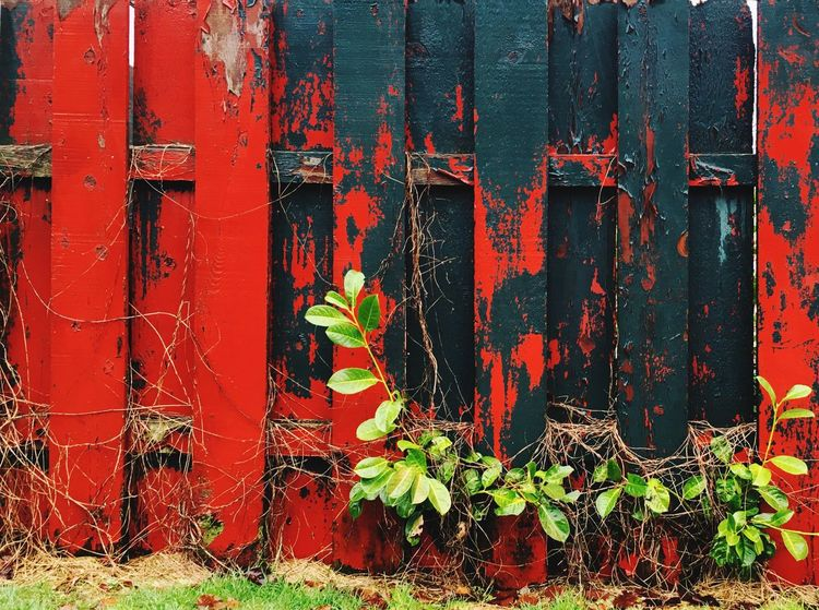 Weathered wooden fence with distressed red and green paint on a rainy day. Weathered Weathered Wood Weathered Fence Distressed Wood Backgrounds Background Detail Fence Wooden Fence Peeling Paint Vintage