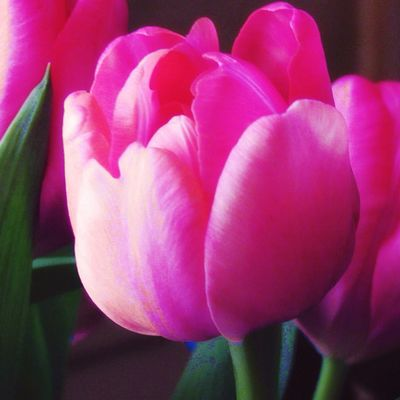 Happy Monday 🙋🏼 Plant Pink Color Flowering Plant Flower Freshness Fragility Tulip Close-up Focus On Foreground Indoors  Beauty In Nature
