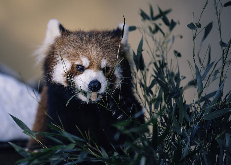 Close-up of red panda by plants