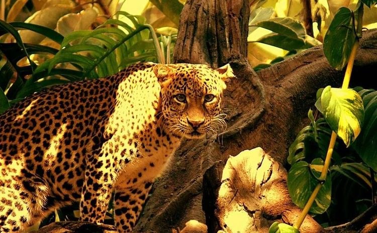Animal Big Cat Wild Life Nature
