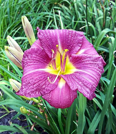 August. ~~ My City Plant Lover Natures Gift Lily Happiness In Portland Maine USA Nature_perfection No People Nature Lover Color Of Life Loving The Landscape Garden Plants Purple Summertime Beauty In Nature Flower Head Flower Petal Close-up Plant Blooming