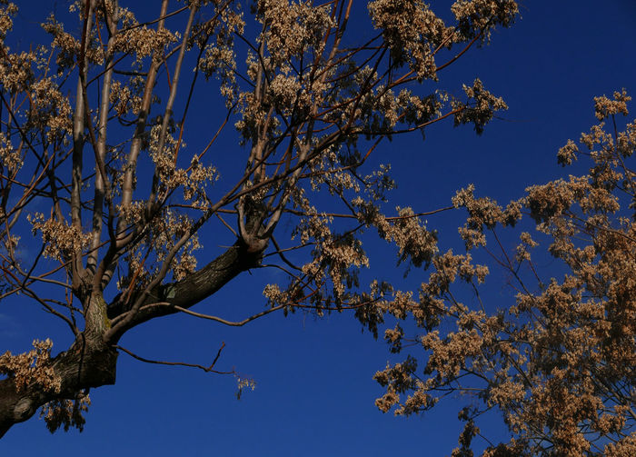 Ailanthus Webworm Moth Blue Blue Sky Branch Clear Sky Low Angle View Outdoors Scenics Tree