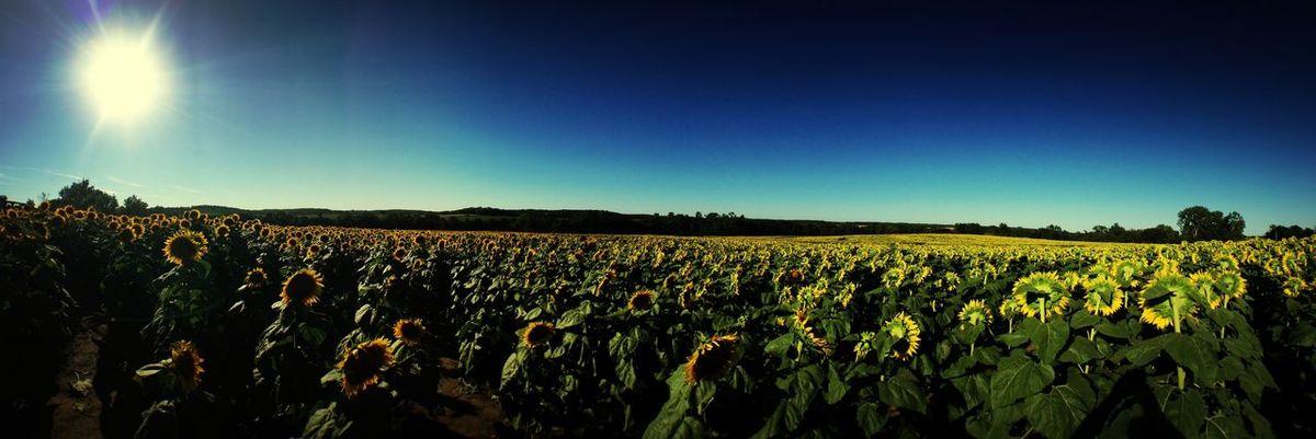 Look Up And Thrive shine. Sun ☀ Sunflowers Sunflowers #kansas