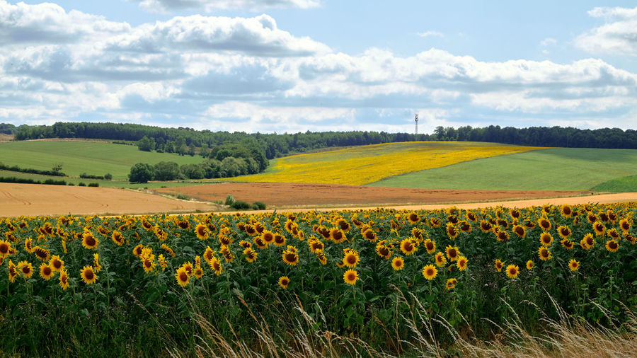 Scenic view of flowering field against cloudy sky