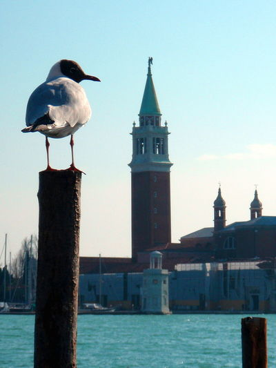 Animal Themes Animal Wildlife Animals In The Wild Architecture Bird Building Exterior Built Structure Clock Day Grand Canal Nature No People One Animal Outdoors Perching Piazza San Marco Seagull Looking Right Seagull On Pole Sky Travel Destinations Water Connected By Travel