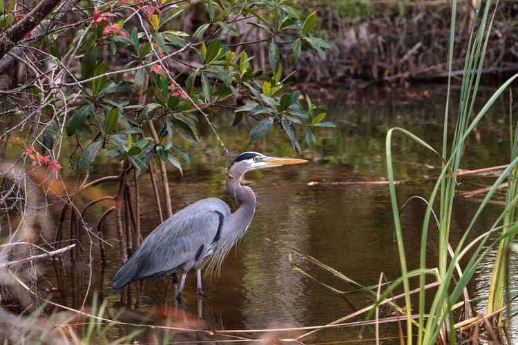 Great blue heron Ardea herodias in the marsh at Lakes Park in Fort Myers, Florida Fly Fort Myers Nature Soar Animal Themes Animal Wildlife Animals In The Wild Ardea Herodias Bird Birds Day Flight Flying Great Blue Heron Heron Nature No People One Animal Outdoors Waterfowl Wings
