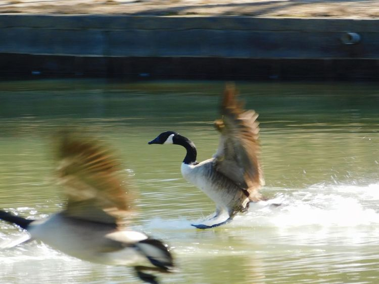 Geese making there way to the water on a cold day. Geese Photography Geese In Flight Geese In Water Geese At The Lake Geese Flying Geese, Nature, Birds, Geese In A Park Waterfowl Anatidae Animals In The Wild Spread Wings Animal Themes Outdoors Nature No People