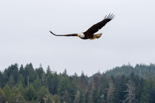Eagle on the Hunt Animal Themes Animals In The Wild Bald Eagle Bird Clear Sky Copy Space Day Flying Freedom Full Length Hugging A Tree Low Angle View Mid-air Nature No People One Animal Outdoors Seagull Soaring Up Above Spread Wings Tree Wildlife Zoology