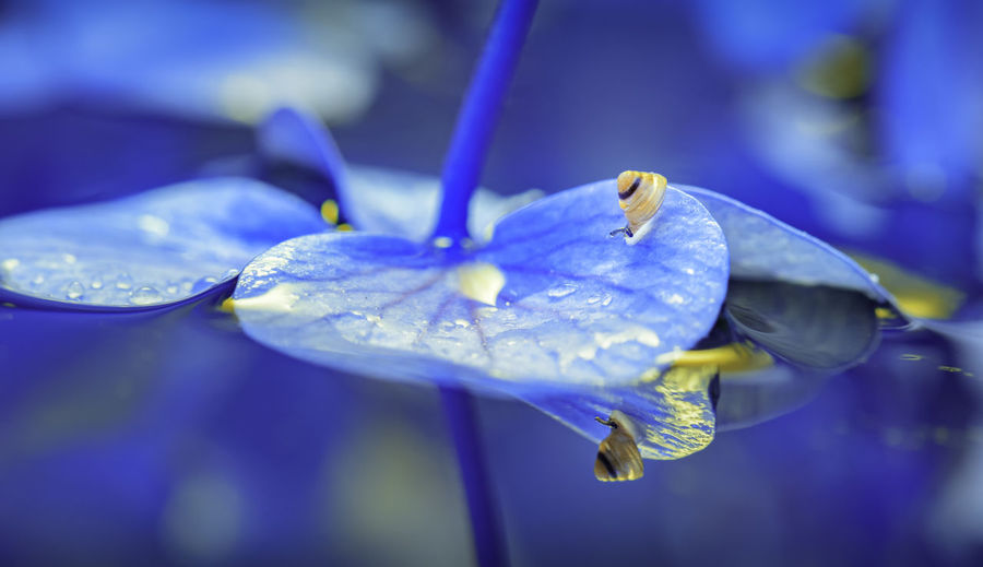 Close-up Flowering Plant Beauty In Nature Flower Plant Vulnerability  Fragility Freshness Blue Petal Growth Water Nature No People Focus On Foreground Selective Focus Inflorescence Flower Head Day Purple Pollen Purity Snail