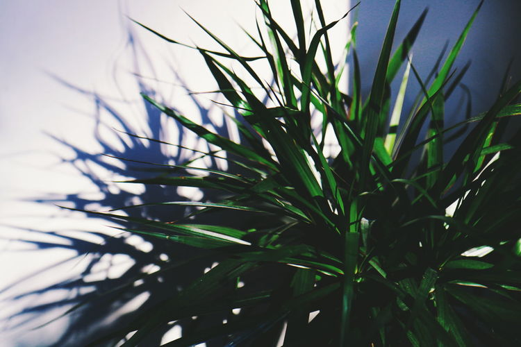 Palm Growth Nature Green Color Leaf Plant Close-up No People Day Beauty In Nature Fragility Freshness The Week On EyeEm