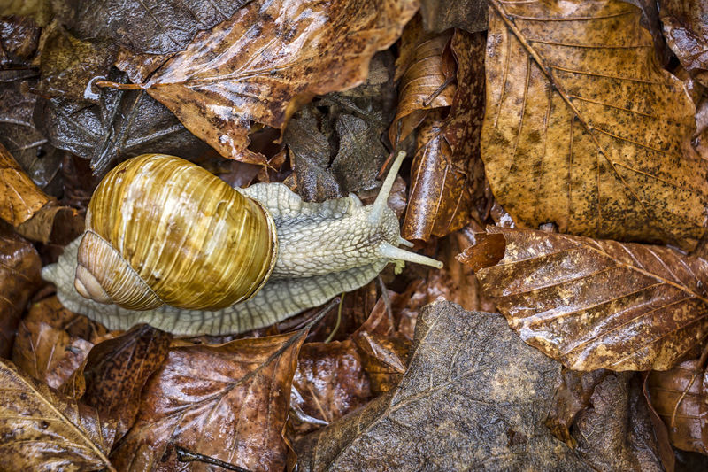 A vineyard snail in wet foliage in autumn. The leaves are moist. Animal Animal Themes Autumn Autumn Colors Backgrounds Beauty In Nature Burgundy Snail Close-up Day Escargot Coquille Freshness Gastropod Helix Pomatia Leaf Mollusk Nature Outdoors Snail