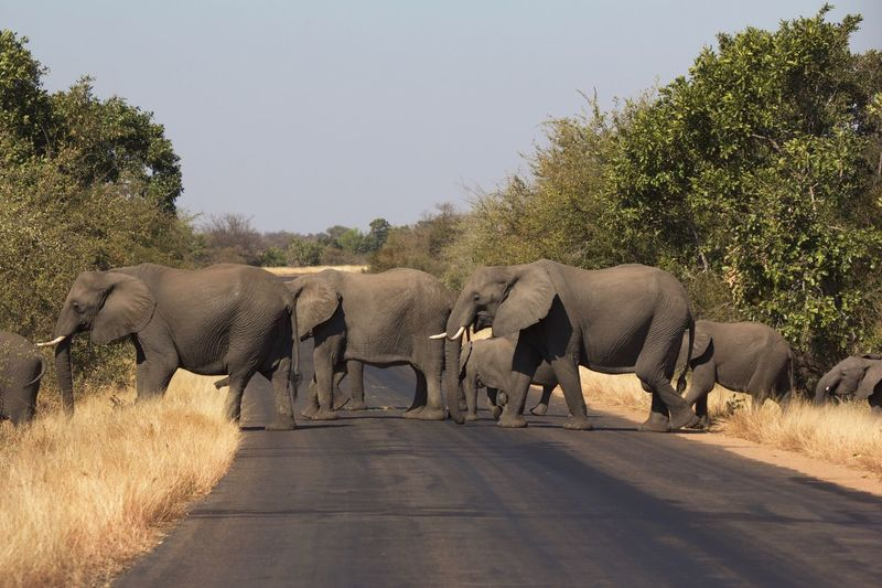 Kruger Park, SA Elephant Elephant Crossing
