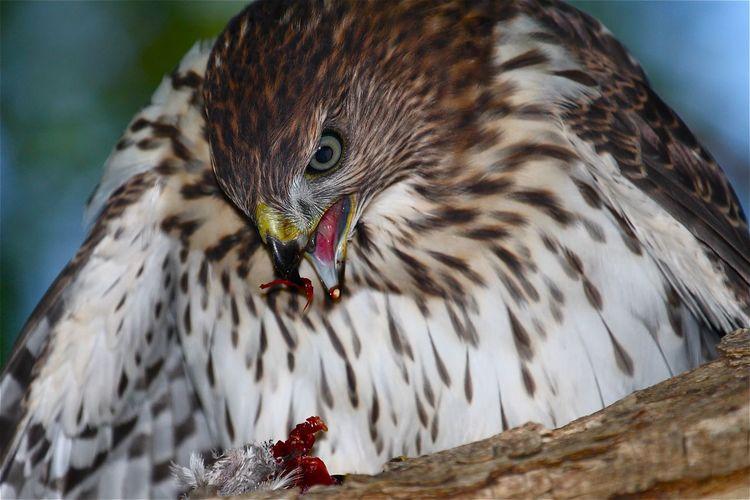 Circle of Life... One bird eats another bird. Check This Out Nature_collection Predator Hawks Birds Of Prey Raptors Birds EyeEm Birds Wildlife Photography Bird Photography