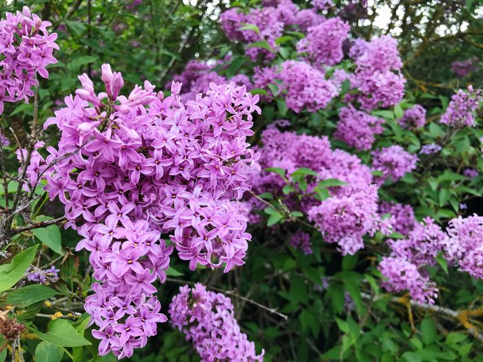 Lilac tree Flowering Plant Flower Fragility Plant Vulnerability  Beauty In Nature Growth Freshness Pink Color Nature Purple Lilac Day Botany Petal No People Outdoors Close-up Blossom Plant Part