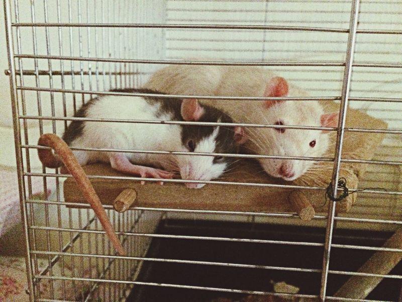 Cuddle Pet Rat