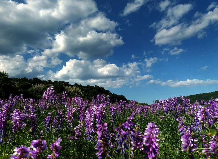 Beautiful Flower, Natural Color, Beautiful Nature Beauty In Nature Nature Photography Nature_collection Naturelovers Summertime Landscape Landscape_Collection Landscape_photography Landscapes Blue Sky Blue Sky And Clouds Flower Flower Head Purple Field Sky Cloud - Sky Landscape