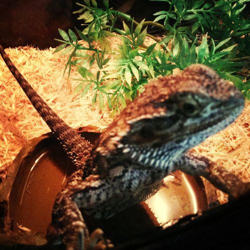 Lizard :3