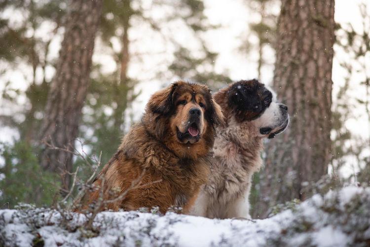 Saint bernard and tibetan mastiff in winter forest