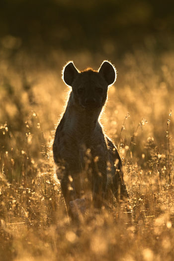 Hyena sitting amidst plants on land during sunset