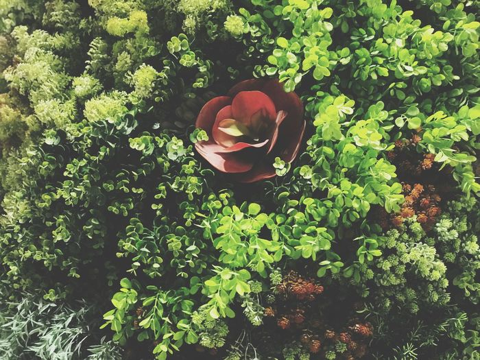 High angle view of roses on rose plant