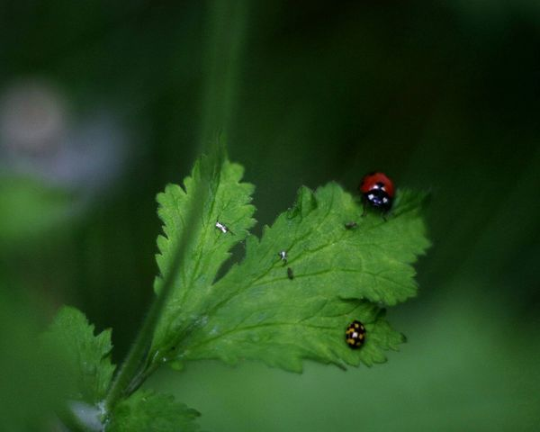 Ladybug looking at me 🐞 One Animal Green Color Animals In The Wild Outdoors Animal Themes Nature Night Rural Scene Photogtaphy Canon 450D Green Color Market Leaf Beauty In Nature Nature Canon 450D Green Summer Bad Quality Close-up Roslagen Macro Extension Tube
