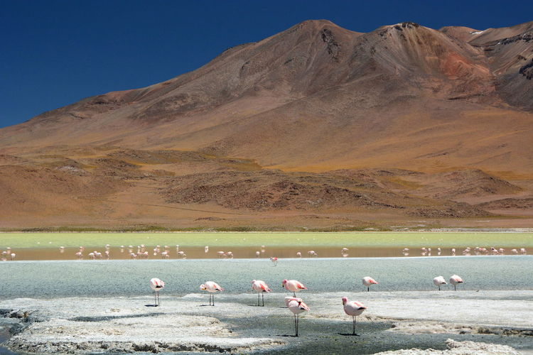 Andes landscape. Laguna Hedionda. Bolivia Altiplanic Lagoons Altitude Andes Andes Mountains Animal Themes Beauty In Nature Bolivia Eyeem Bolivia Flamingo Flamingos In Water Laguna Hedionda Lake Miles Away Landscape Large Group Of Animals Mountain Nature Outdoors Scenics Southamerica Lakeshore Travel Travel Destinations Water Wild Nature