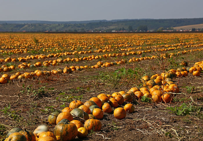The field of ripe yellow orange pumpkins ready to harvest in Autumn season Agriculture Autumn Good Weather Crop  Cultivated Land Day Farming Field Food Food And Drink Freshness Ground Harvest Landscape Nature Paint The Town Yellow Orange Color Outdoors Pumpkin Ripe Rural Scene Season  Sunny Day Sunshine Yellow