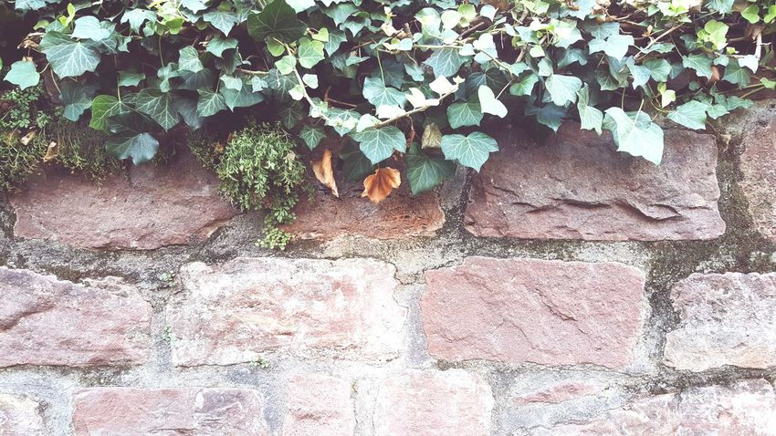 Leaf Plant Outdoors Day Green Color Green No People Nature Wall Wall - Building Feature Sandstone Sandstone Wall Wallart Card Design Efeu An Mauer
