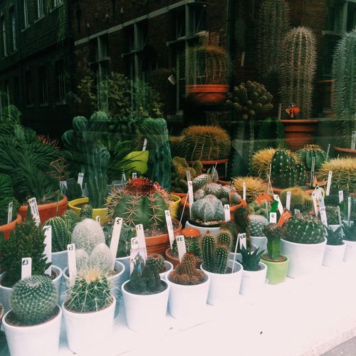 Crazy cacti lady Cactus Plant Window Display Brugge Belgium Interrail Travel