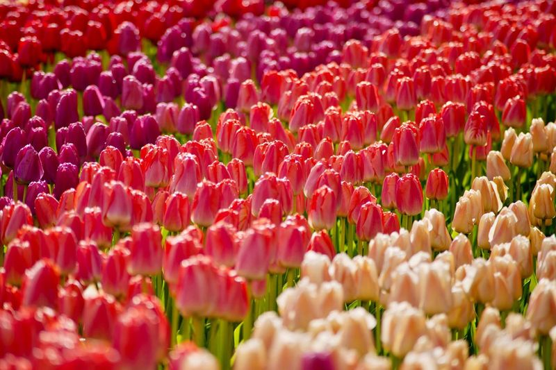 Full Frame Shot Of Pink Tulips