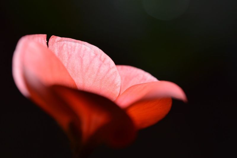 Macro Petal Flowering Plant Flower Close-up Vulnerability  Fragility Inflorescence Freshness Flower Head Beauty In Nature Plant Growth Pink Color Red No People Focus On Foreground Nature Pollen Black Background My Best Photo