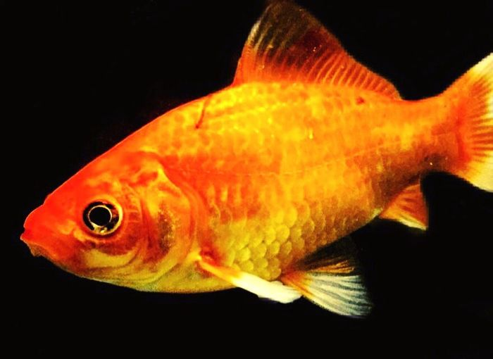 Goldfish Fish Aquarium Fishtanks Fishtank Aquarium Aquariums Goldfishtank