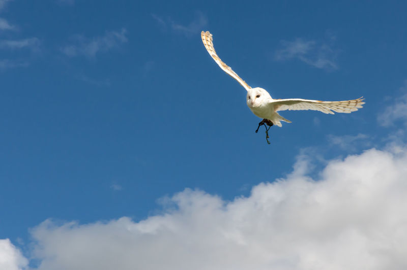 Low angle view of owl flying against cloudy sky