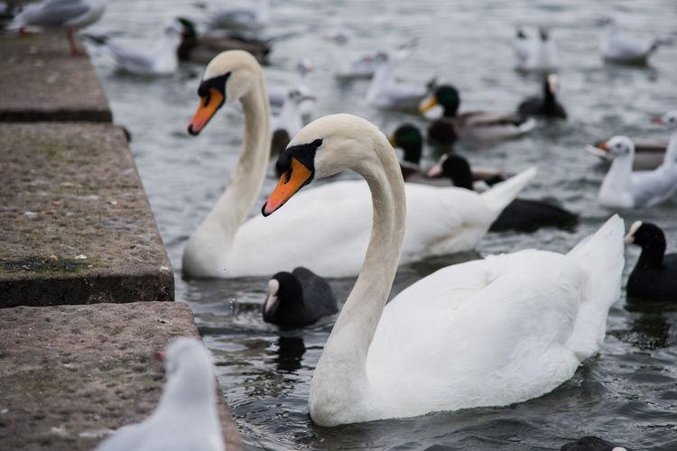 Bird Photography Swans Waterfowl Wildlife