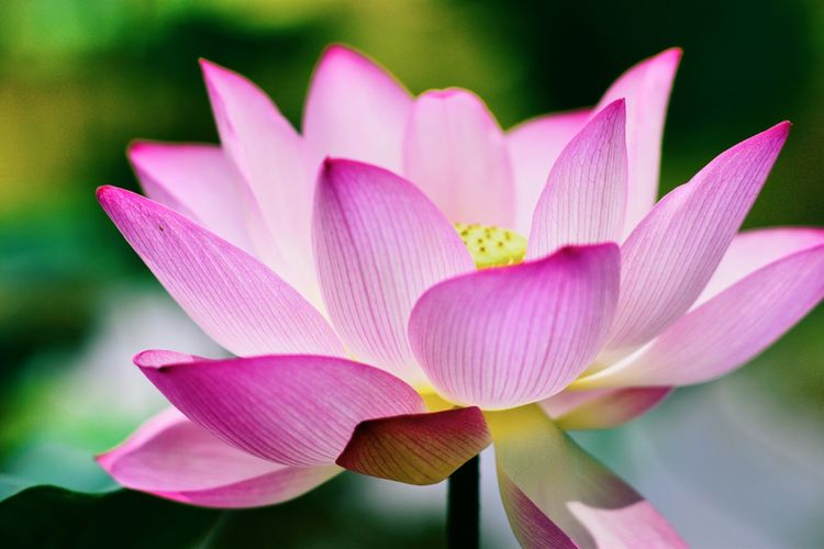 Lotus beauty EyeEm Best Shots EyeEm Nature Lover Eye4photography  EyeEm Exploring Beauty In Nature Flower Head Flower Crocus Lotus Water Lily Pink Color Water Petal Purple Close-up Plant Lotus Water Lily Blossom In Bloom Plant Life Botany Pond Water Plant