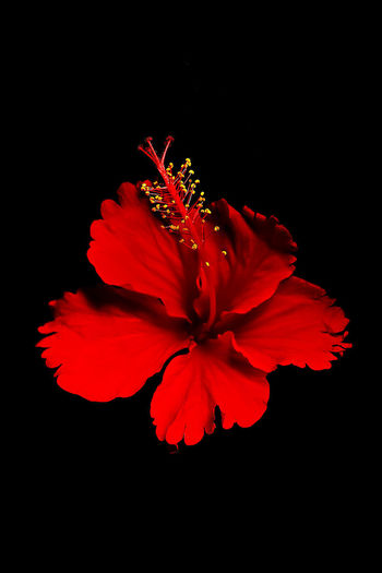 Red Flower Red Flower Red Color Red Hibiscus Nature No People Indoors  Growth Pollen Plant Black Background Close-up Beauty In Nature Inflorescence Fragility Flower Head Studio Shot Vulnerability  Freshness Petal Flower Flowering Plant
