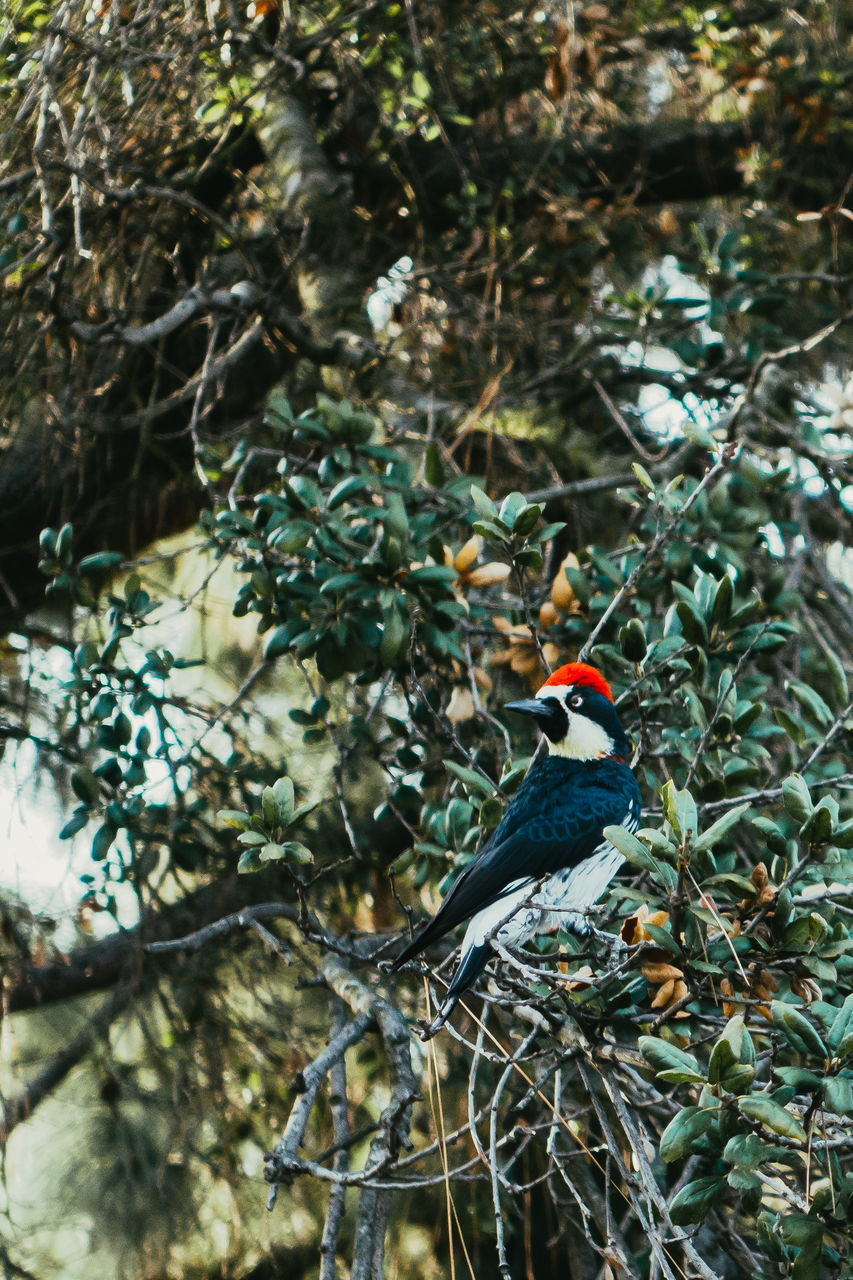 Acorn Woodpecker Perching On Tree Branches