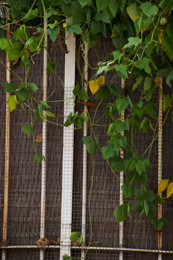 Fence Green Leaf Nature Outdoors Plant White Fence