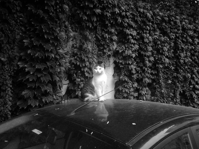 Cat Cat Lovers Cats OnTheCar