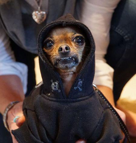 Dog Domestic Animals Gangster Rap Looking At Camera Pets
