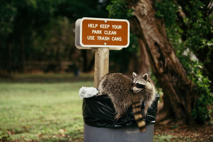 Raccoon Sitting In Garbage Bin