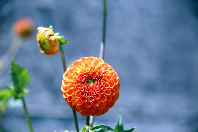 Orange dahlia flower and its bud, in the garden