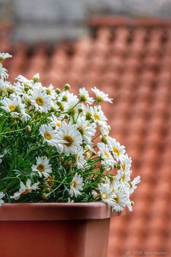 EyeEm Selects Daisies Vase Of Flowers Vase Decoration Rooftop Window Gardening Garden Flowers White Flower Springtime Blooming Blossom Windowsill