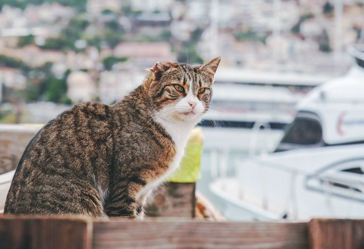 The cat without ear Yacht Turkey Turkish Cat Pier Harbor Cat Without Ear Invalid  Leopard Pets Feline Cheetah Portrait Close-up Big Cat Cat Kitten Stray Animal Tabby Cat Tabby Yellow Eyes Domestic Cat