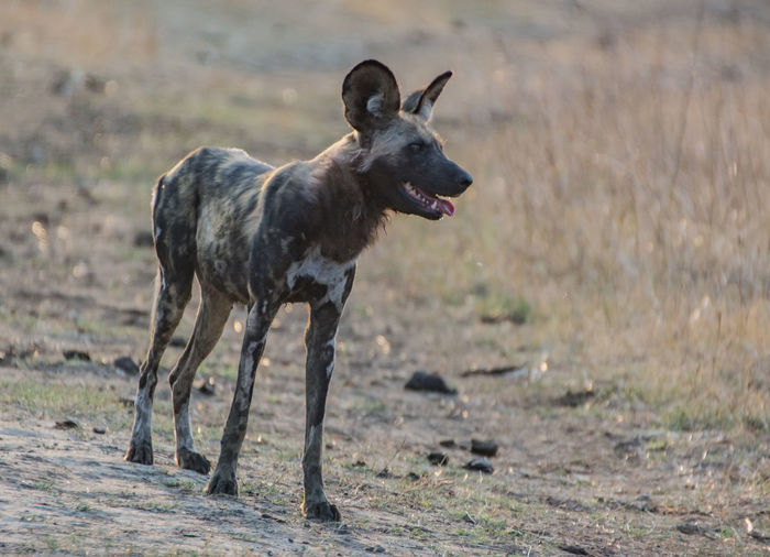 Hyena Standing On Field In Forest