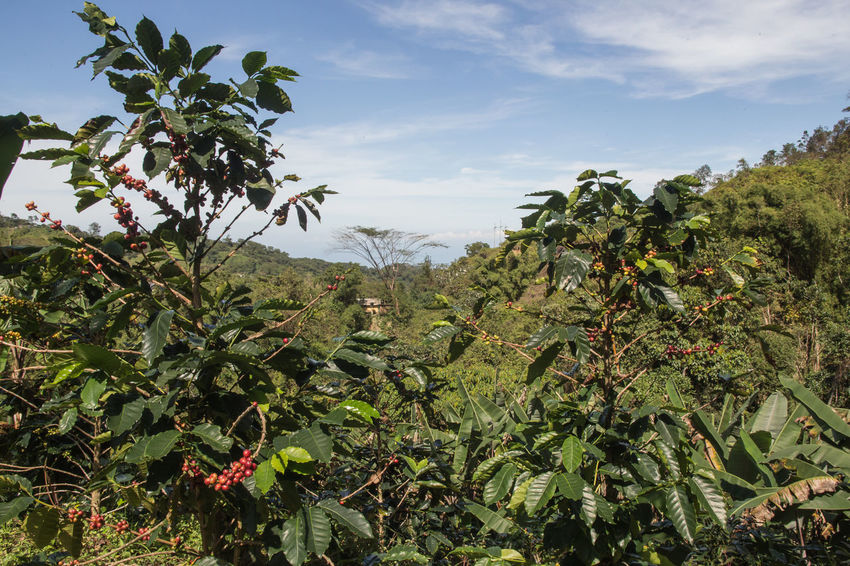 Agriculture Banana Tree Beauty In Nature Coffee Plantations Coffee Seeds Day Freshness Green Color Growth Landscape Leaf Mountain Nature No People Outdoors Plant Scenics Sky Tree