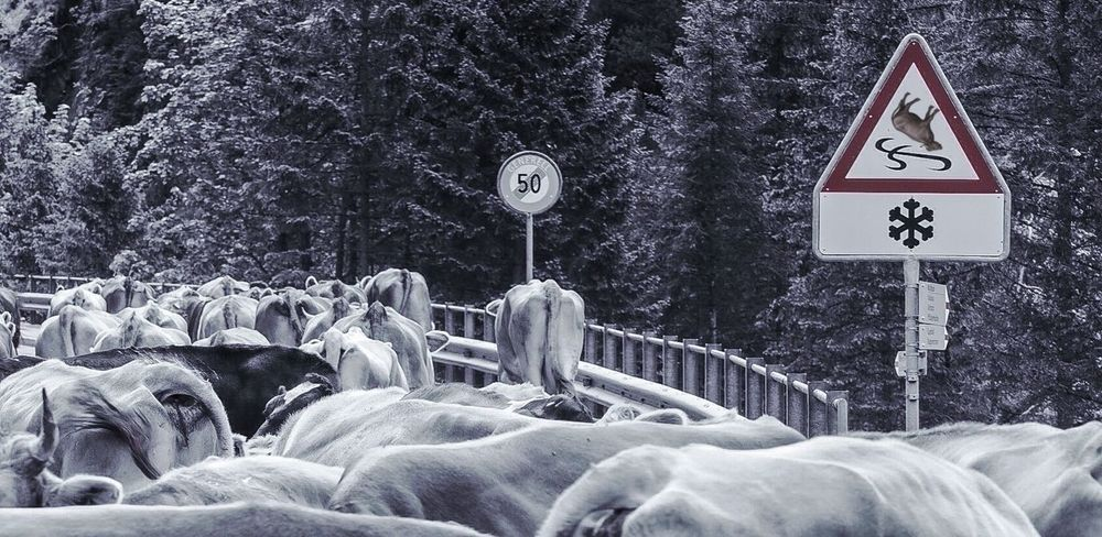 Beware of slippery road! Beware Slippery Road Achtung Rutschgefahr Streetphotography Street Sign Curiousmoments Simply Animalistic Einfach Tierisch Cows Cattle Drive Traffic Traffic Jam Speed Limit Fun